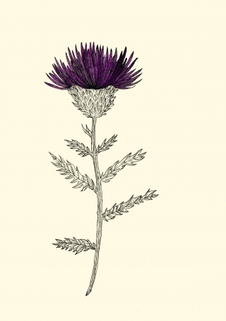 Cardoon flower.