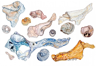 A collection of seashells with swirl patterns..jpg