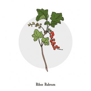 Ribes Rubrum, botanical illustration.png