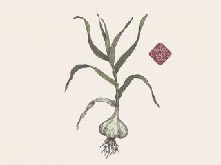garlic portfolio.jpg