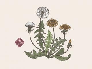 dandelion portfolio.jpg