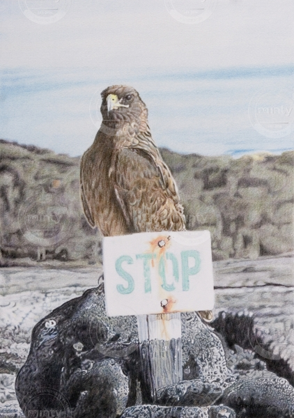A Galapagos Hawk sitting on a rock with a STOP sign.
